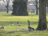 The Geese are Back!