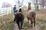 Walking Llamas in Allen County 3-20-10